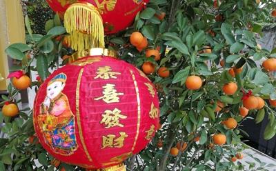 ベトナムの旧正月「テト」きんかんの飾り付け